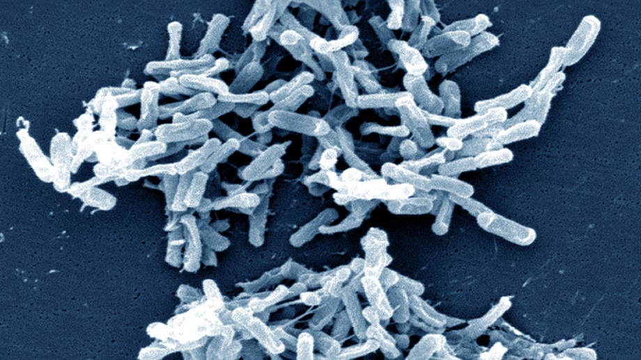 Clostridium difficile. Foto: Wikipedia