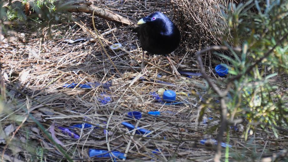 Satin_Bowerbird_nest
